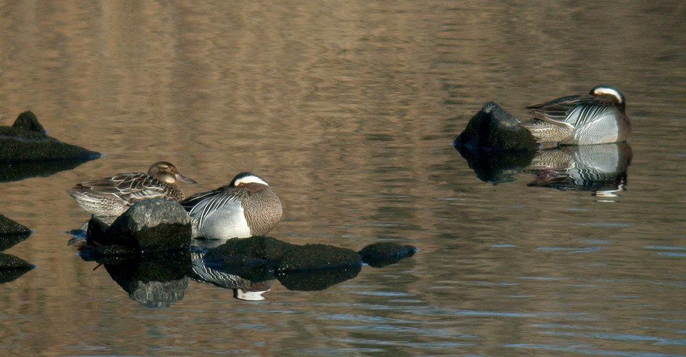 three   Garganey  , Vale Pond, 22 Mar 11