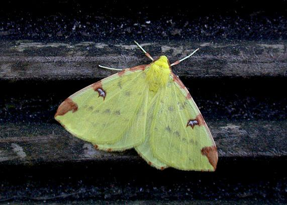 Brimstone Moth  , garden, 18 April 2011