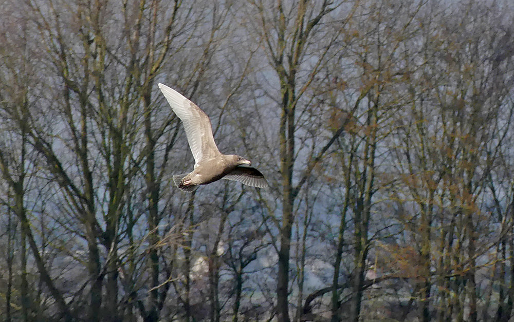Glaucous Gull - Tophill Low, 22 Feb 18