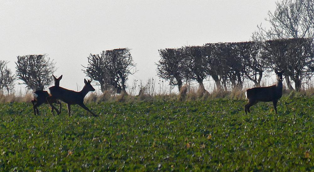 Roe Deer - Yorkshire Wolds, 22 Feb 18