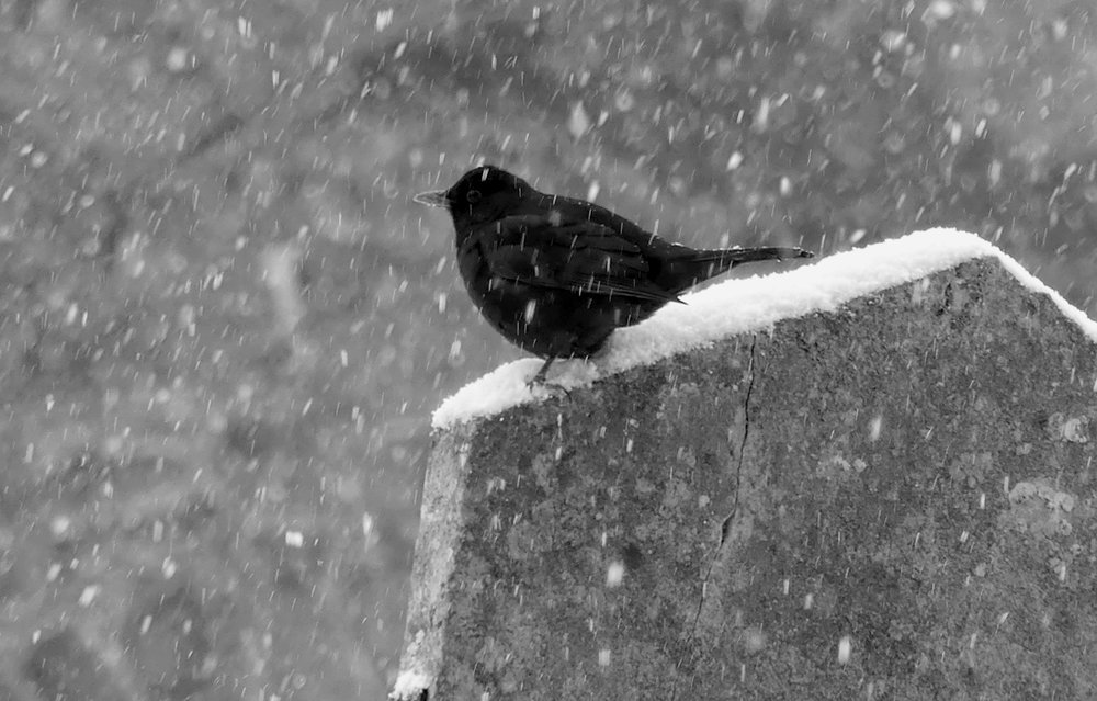 Blackbird - Vale Churchyard, 27 Feb 18
