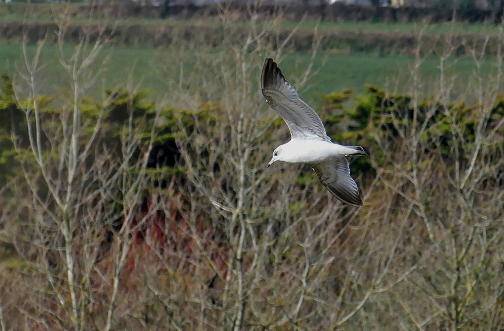 Common Gull - Rue des Hougues, 4 Mar 18
