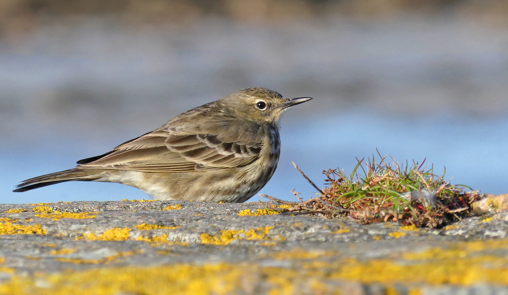 Rock Pipit - Vazon, 13 Mar 18 a.jpg