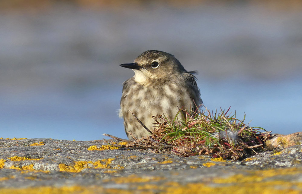 Rock Pipit - Vazon, 13 Mar 18