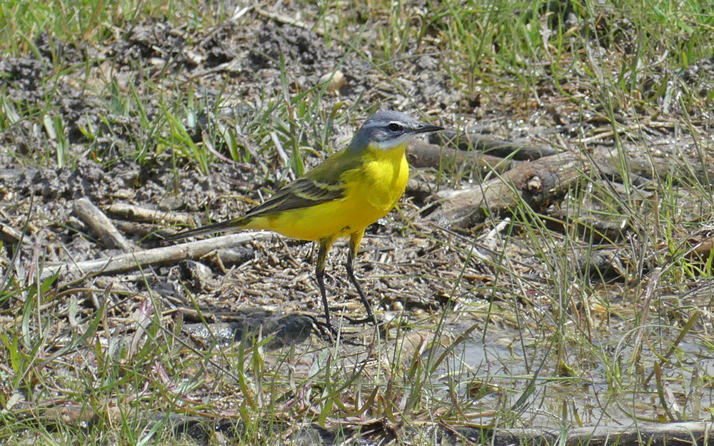 Blue-headed Wagtail -  Fuente de Piedra