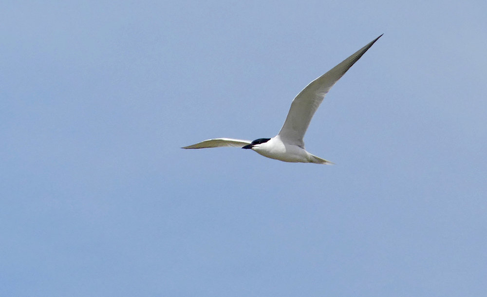 Gull-billed Tern -   Fuente de Piedra