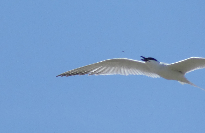 Gull-billed Tern -   Fuente de Piedra - ...and snap! there it goes - yum!