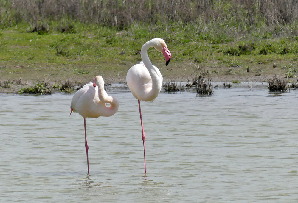 Greater Flamingos -   Fuente de Piedra