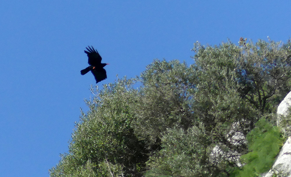 Chough -  Teba Gorge