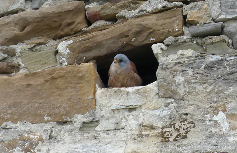 Lesser Kestrel, male - Castillo de Tarifa, peering out of its nesting hole