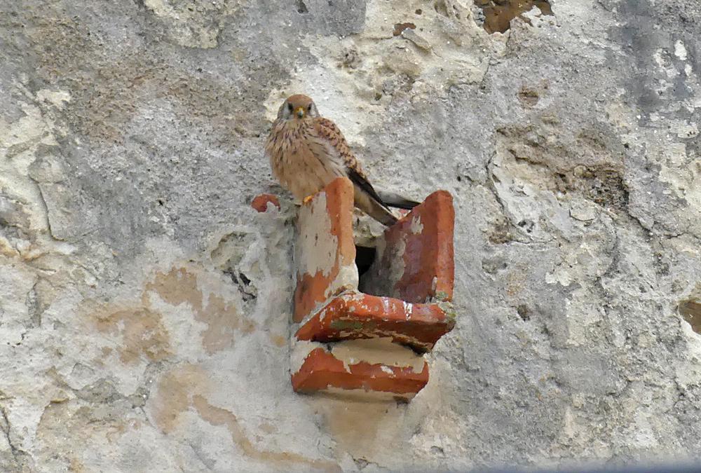 Lesser Kestrel, female - Castillo de Tarifa