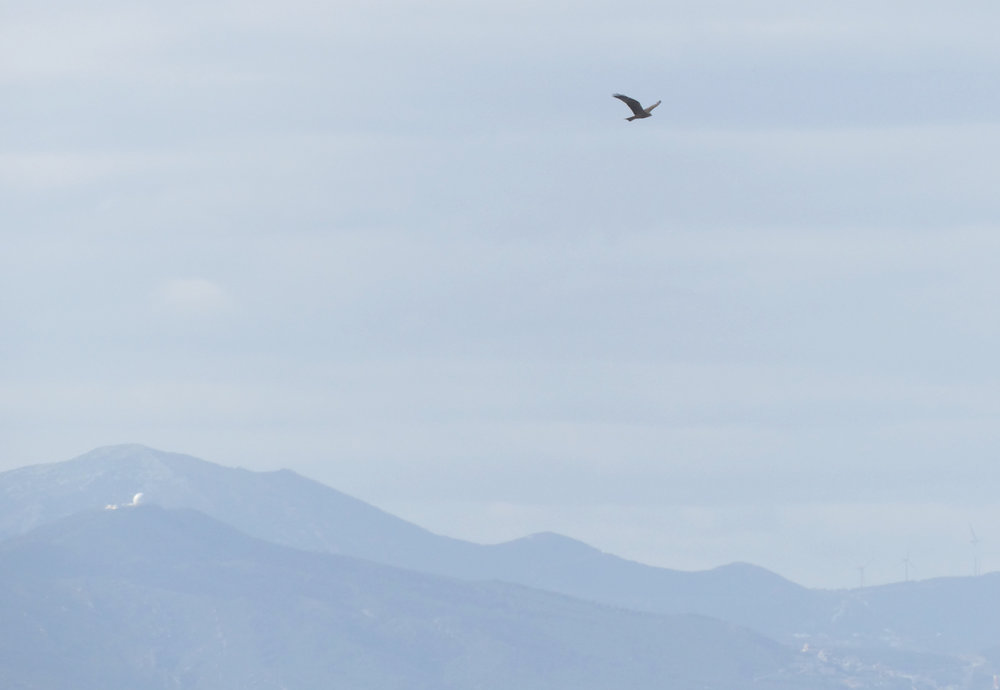 Black Kite crossing the strait with the Moroccan hills behind - Punta Carnero