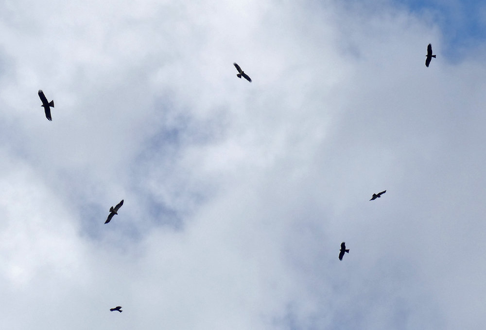 A thermal of 3 Booted Eagles and 4 Black Kites above the headland - Punta Carnero