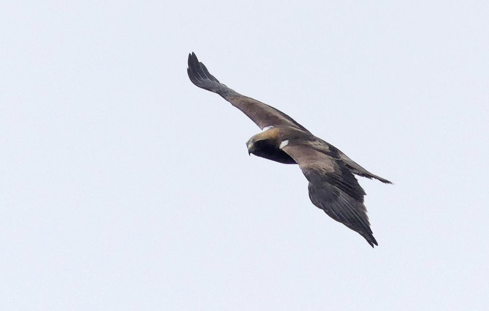 Booted Eagle - Punta Carnero