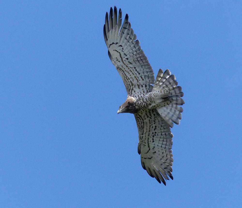 Short-toed Eagle - Punta Carnero