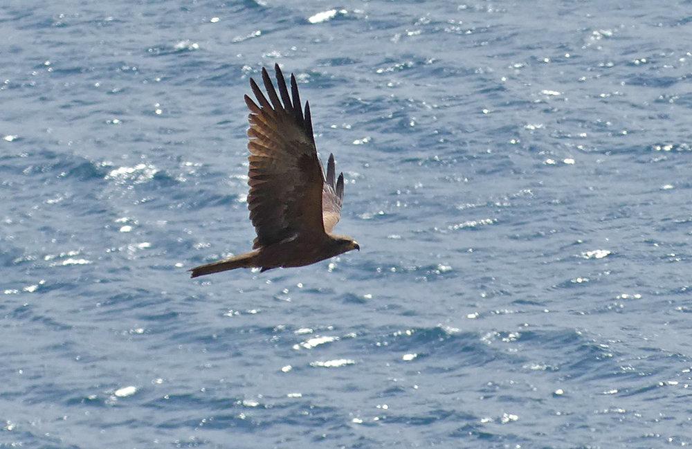 Black Kite - Punta Carnero
