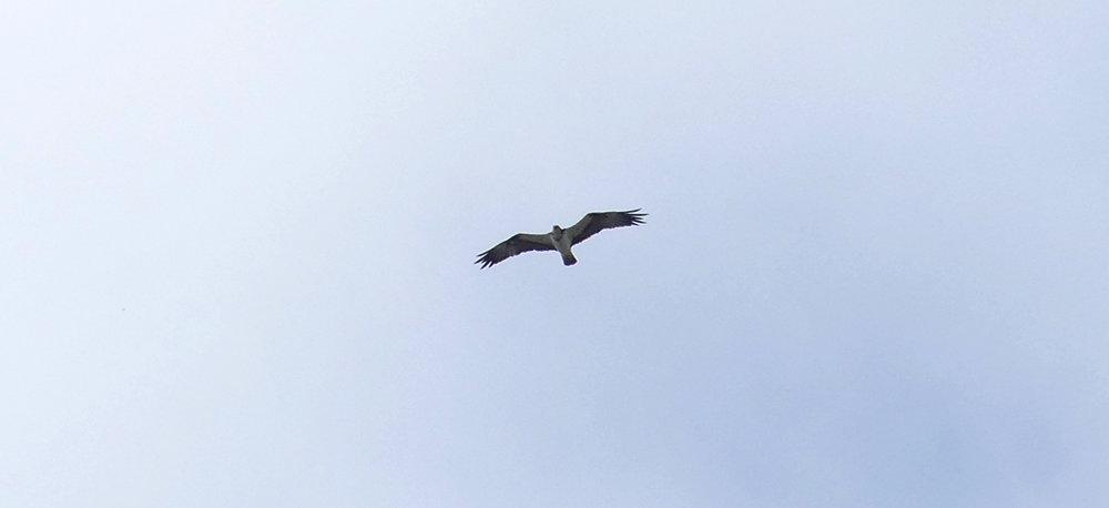 Osprey - Punta Carnero