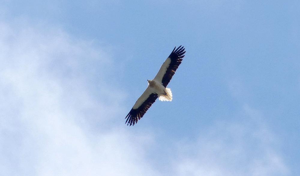 Egyptian Vulture - Punta Carnero