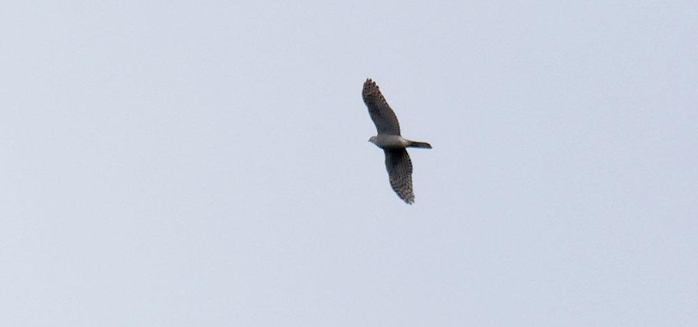Sparrowhawk - Punta Carnero