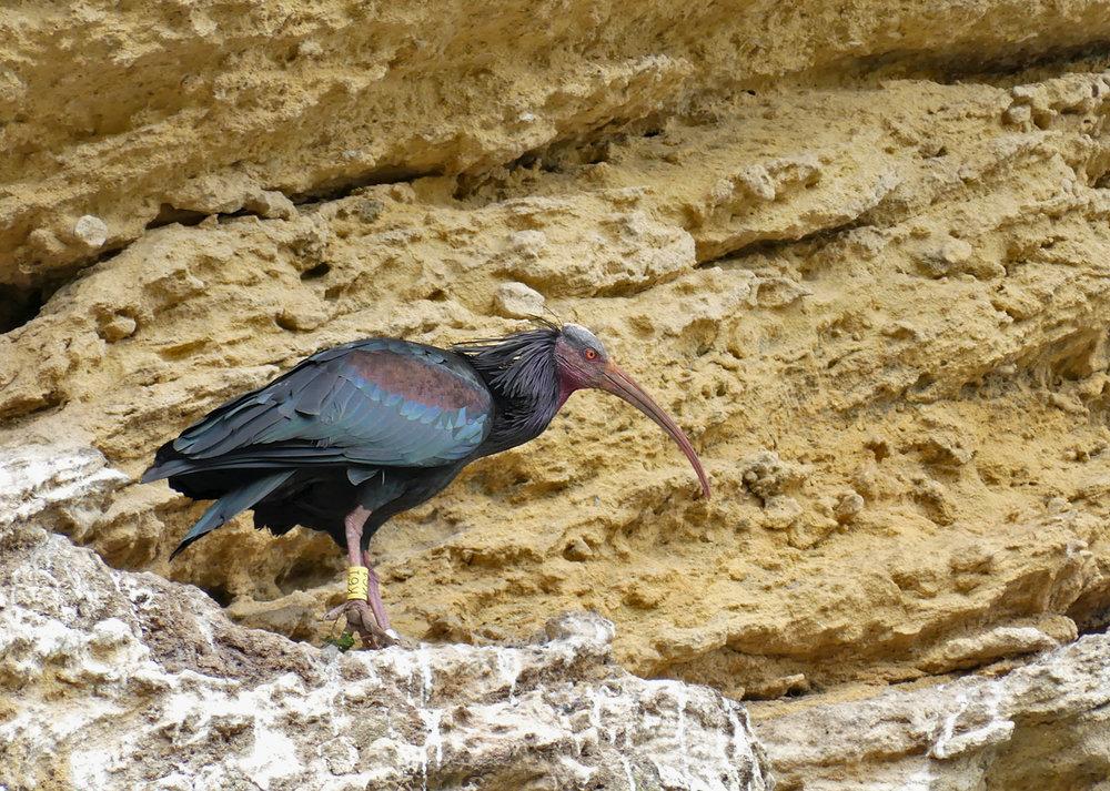 Bald Ibis - Vejer