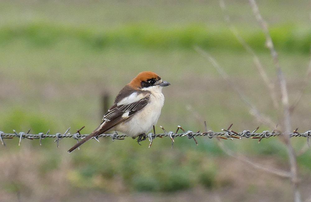 Woodchat Shrike - La Janda