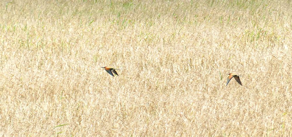 Bee-eaters - La Janda