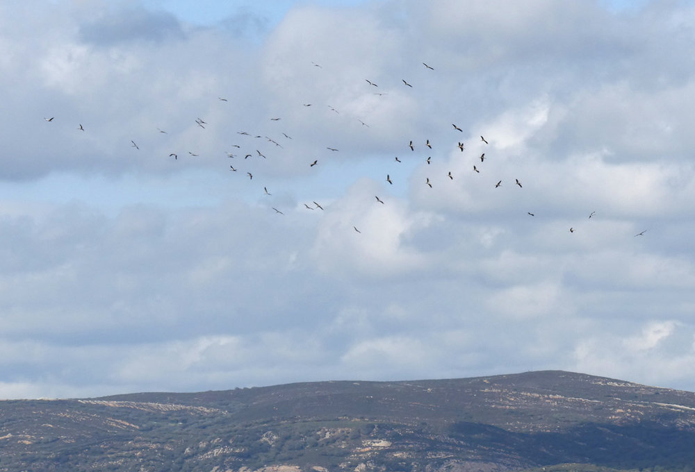 White Storks - La Janda