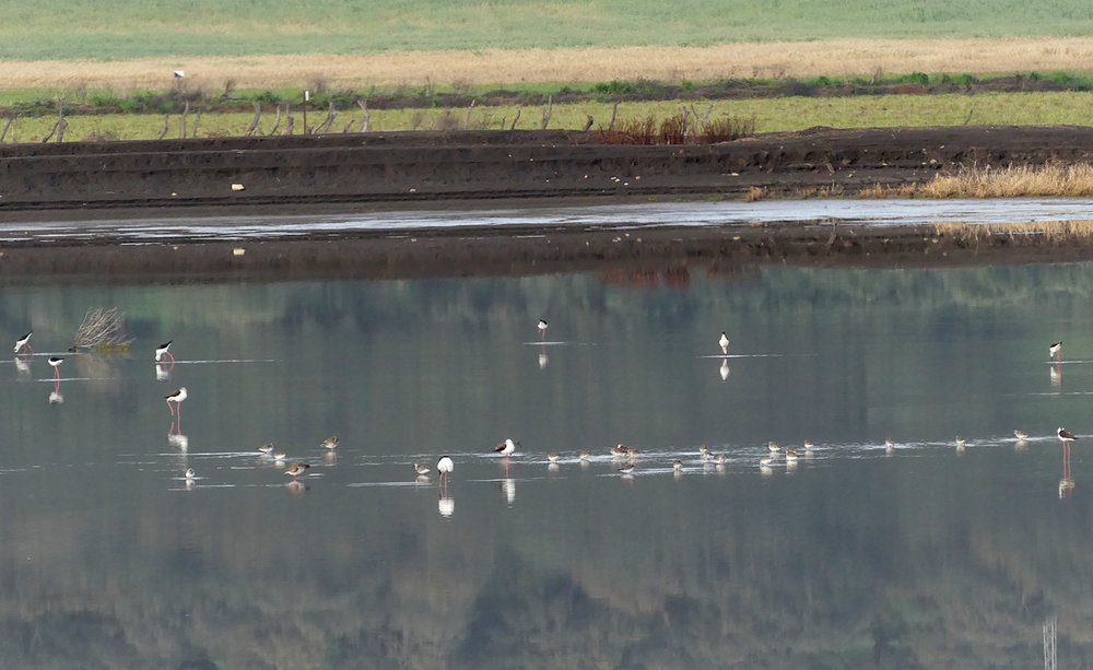 Stilts, Dunlins & Redshanks - La Janda