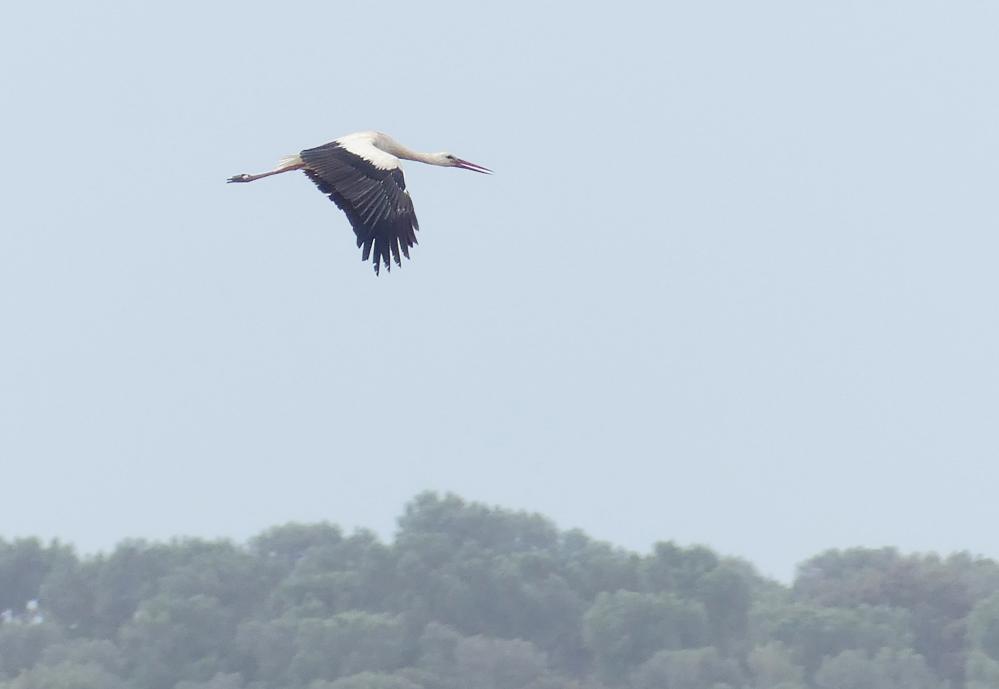 White Stork  - La Janda