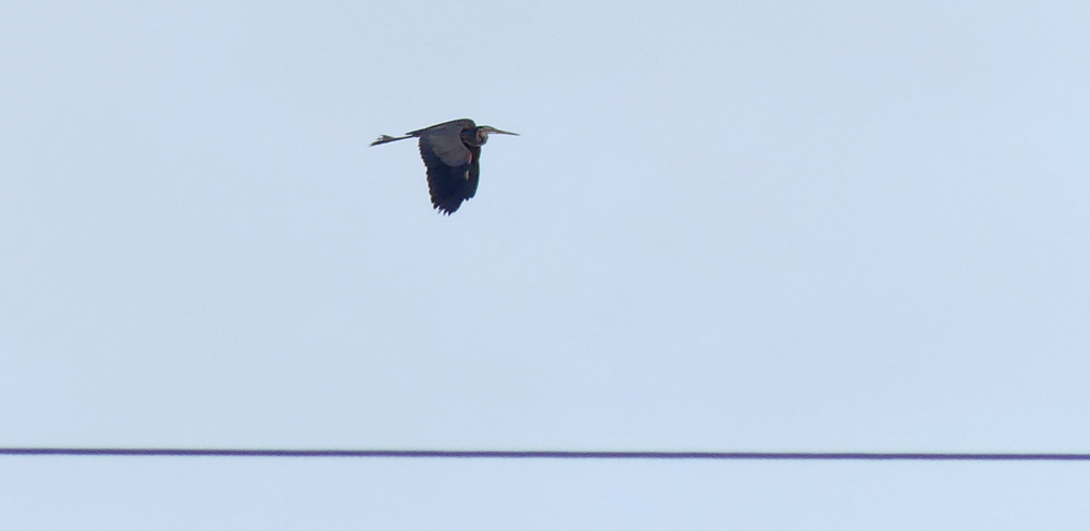 Purple Heron  - La Janda