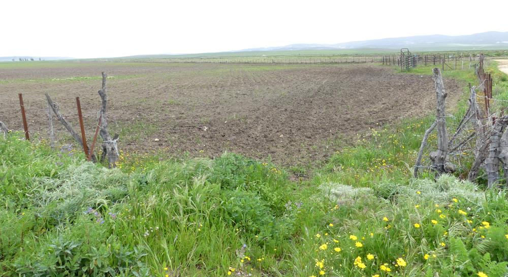 Calandra Lark fields - La Janda