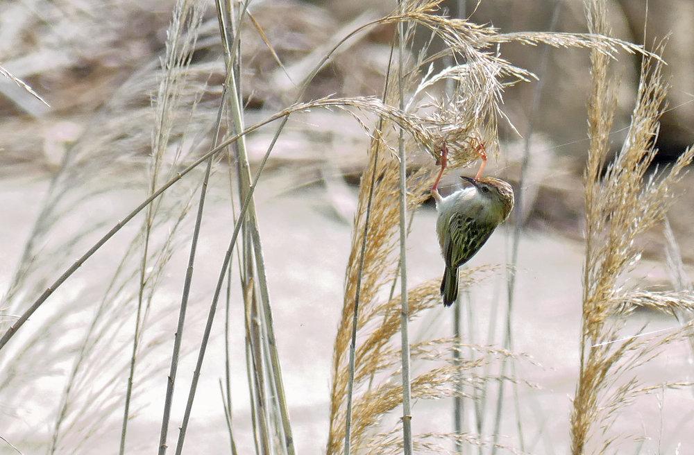Fan-tailed Warbler  - La Janda