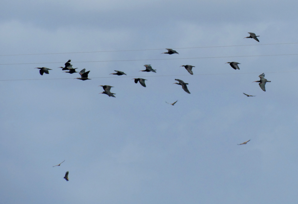 Bald Ibises & Griffon Vultures - near Benelup