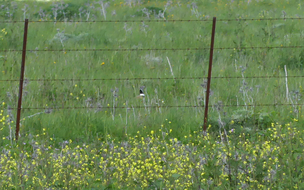 Little Bustard - near Benelup