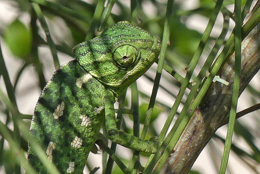 Mediterranean Chameleon - Bolonia beach