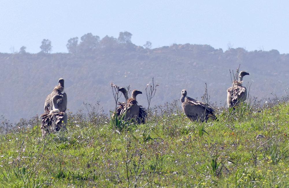 Griffon Vultures - near Bolonia