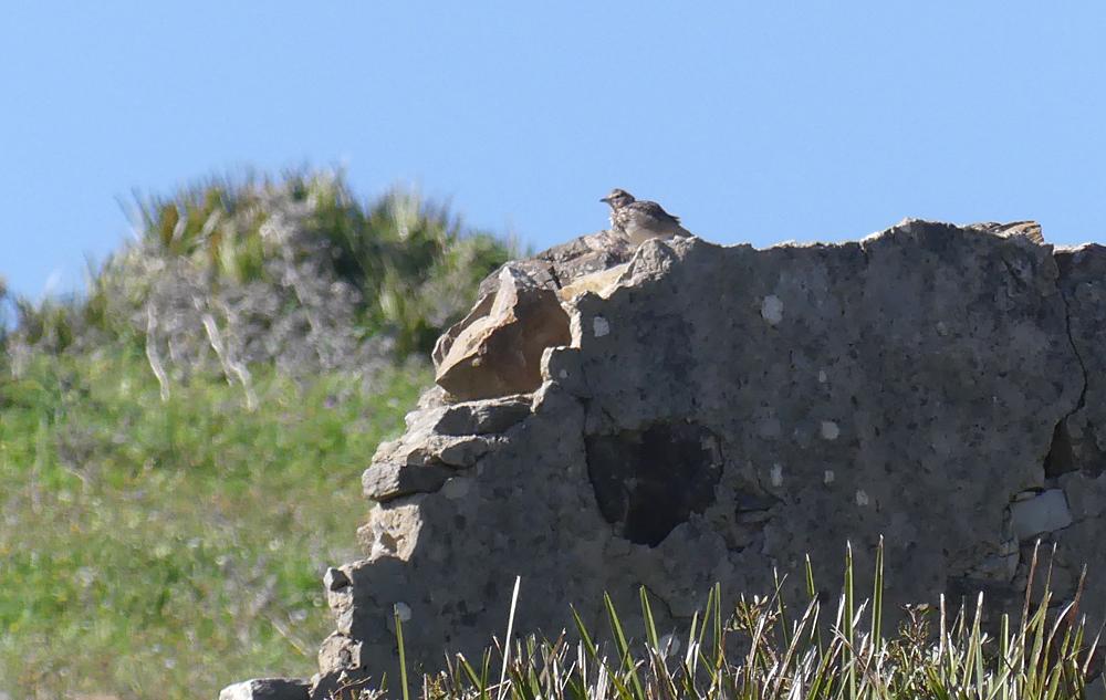 Thekla Lark - near Bolonia