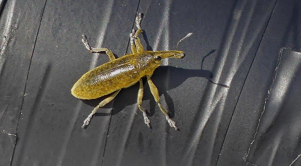 A giant green weevil (Lixus sp.) - Bonanza Saltpans