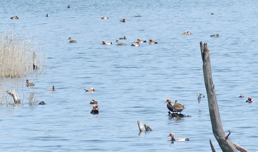Red-crested Pochards, Common Pochards, White-headed Ducks & Common Sandpiper - Laguna de Terelo