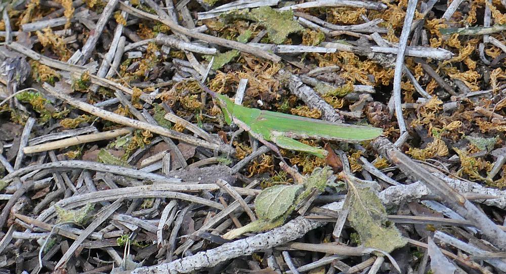 Common Stick Grasshopper (Pyrgomorpha conica) - Algaida Pinewoods