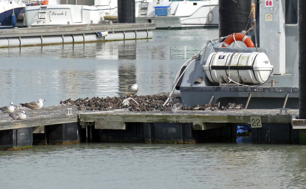 Turnstones - Chipiona Harbour