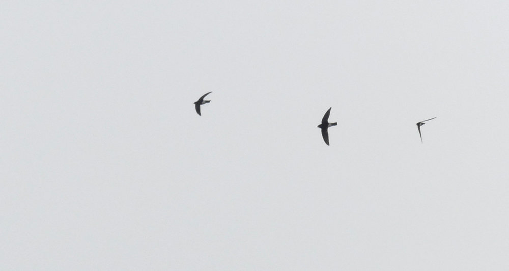 Little Swifts - Chipiona Harbour