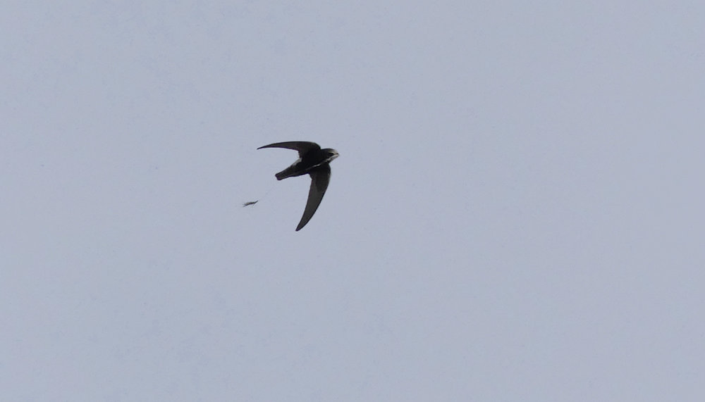 Little Swift carrying nesting material - Chipiona Harbour