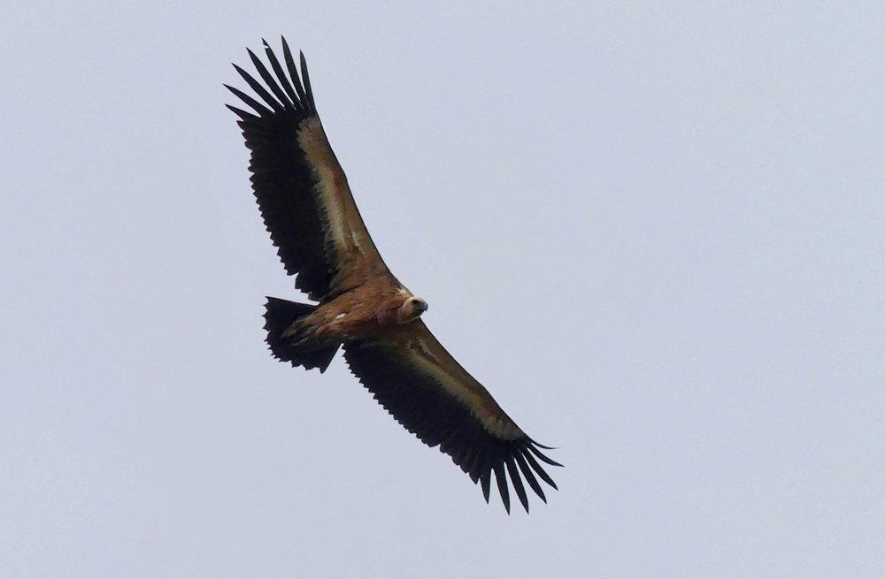 Griffon Vulture, Casares