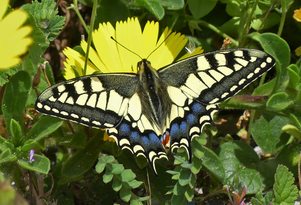 Swallowtail, Gibraltar