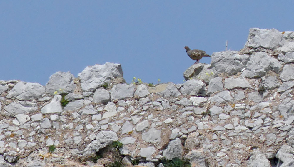 Barbary Partridge, Gibraltar
