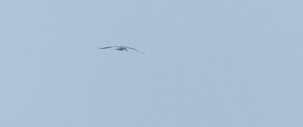 Royal Tern - Vazon, 16 April 18