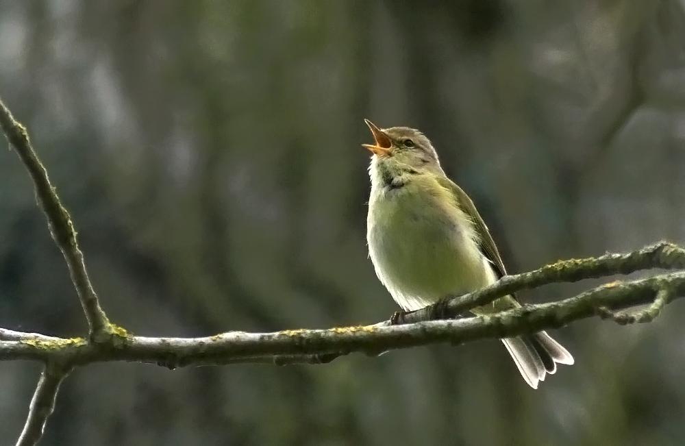 Iberian Chiffchaff - Saumarez Park, 23 Apr 18