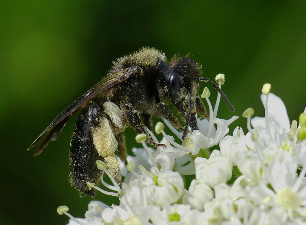 Black Mining Bee (Andrena pilipes) - Portinfer, 28 May 18
