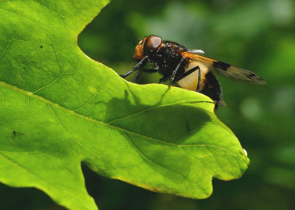 Volucella pellucens - hoverfly, Garenne, 9 Jun 18